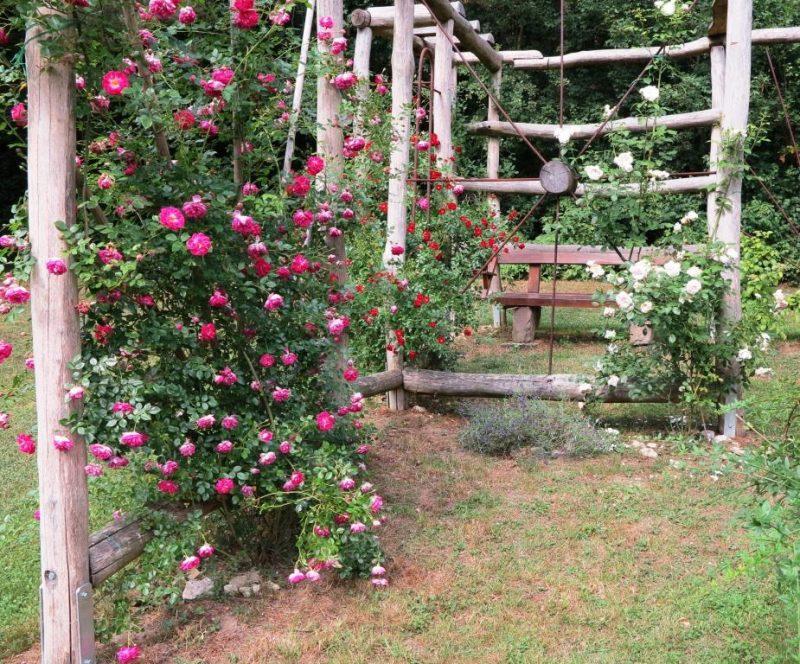 Die Rosen an der Pergola stehen in voller Blüte