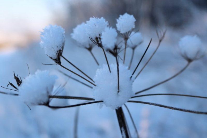 Blume mit Schnee
