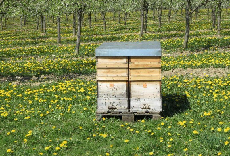 Bienen verrichten ihre Arbeit an den blühenden  Obstbäumen