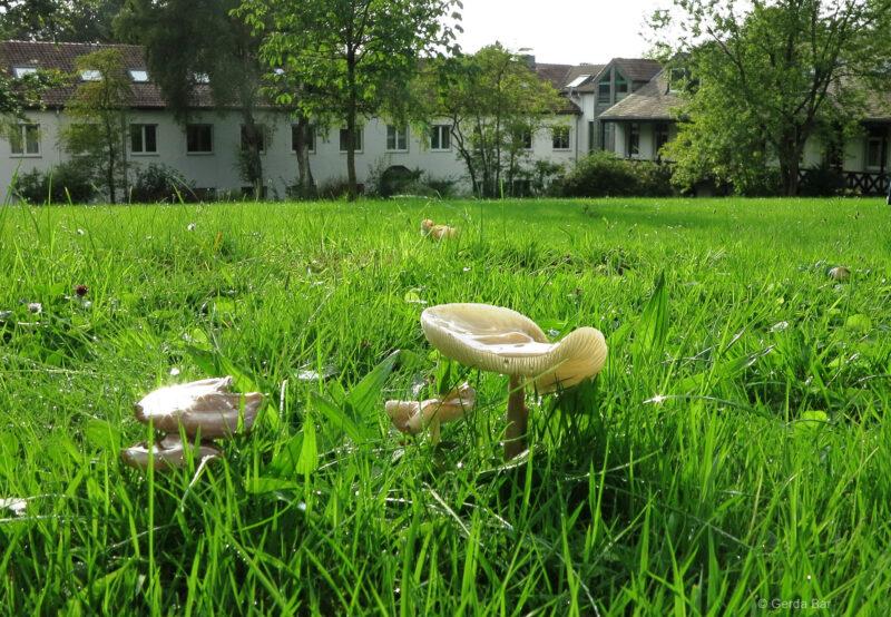 Pilze auf der Hegge-Wiese (©Foto: G. Bär)